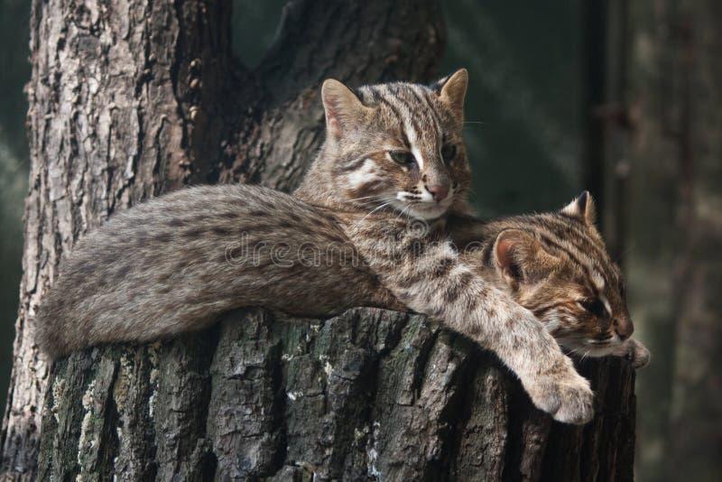 Chats de léopard de repos d'Amur images libres de droits