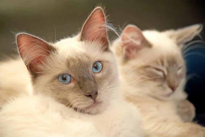 chats deux mignons photo stock