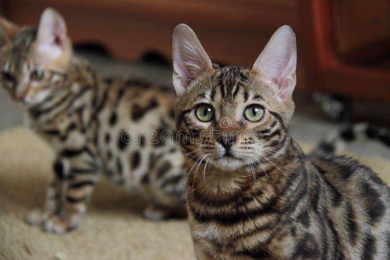 Download Chats du Bengale , tigres image stock. Image du photo , 93993561