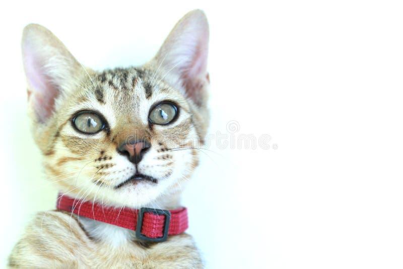 Chats mignons, d'isolement sur le fond blanc photographie stock
