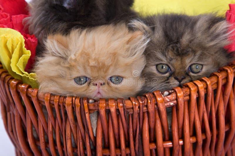 Chats persans photographie stock libre de droits
