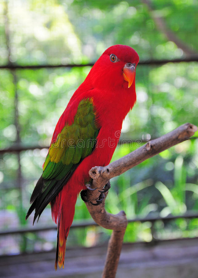 Chattering Lory. On a bough royalty free stock image