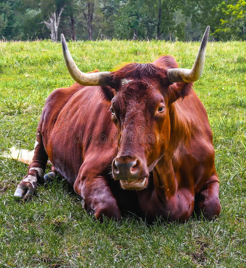 Chatting with a Long Horn. A long horn cattle lying in the pasture with its mouth open appearing to be talking with the photographer royalty free stock photography