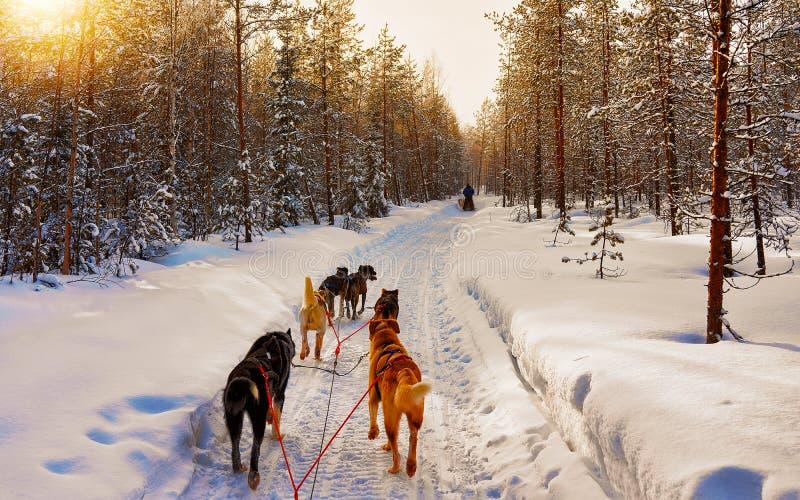 Chauffage de Husky en Laponie dans un réflexe finlandais photos stock