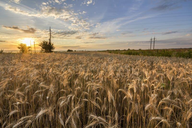 Chauffez mûr d'or coloré pour moissonner le champ de blé Agriculture images libres de droits