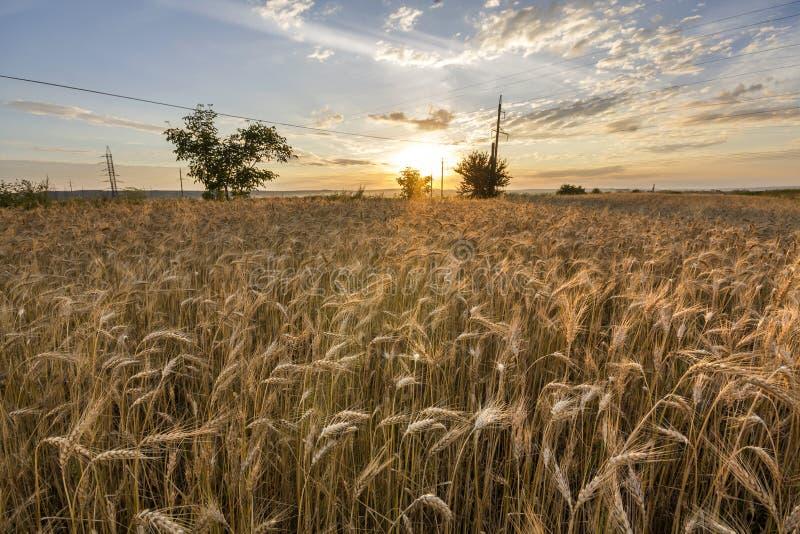 Chauffez mûr d'or coloré pour moissonner le champ de blé Agriculture photo stock