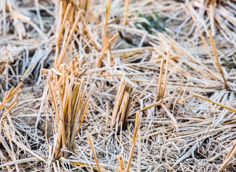 Chaume de riz dans le domaine image stock