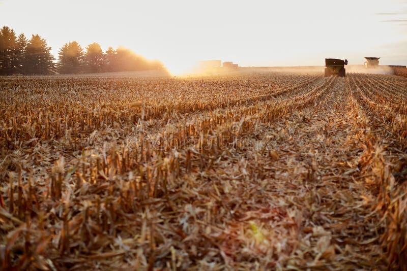 Chaume rétro-éclairée dans un domaine de maïs au coucher du soleil photos stock