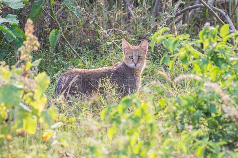 Chaus del Felis del gatto di giungla immagini stock libere da diritti