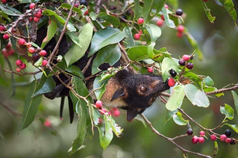 Chauve-souris à lunettes de Fox de vol mangeant des figues photos libres de droits
