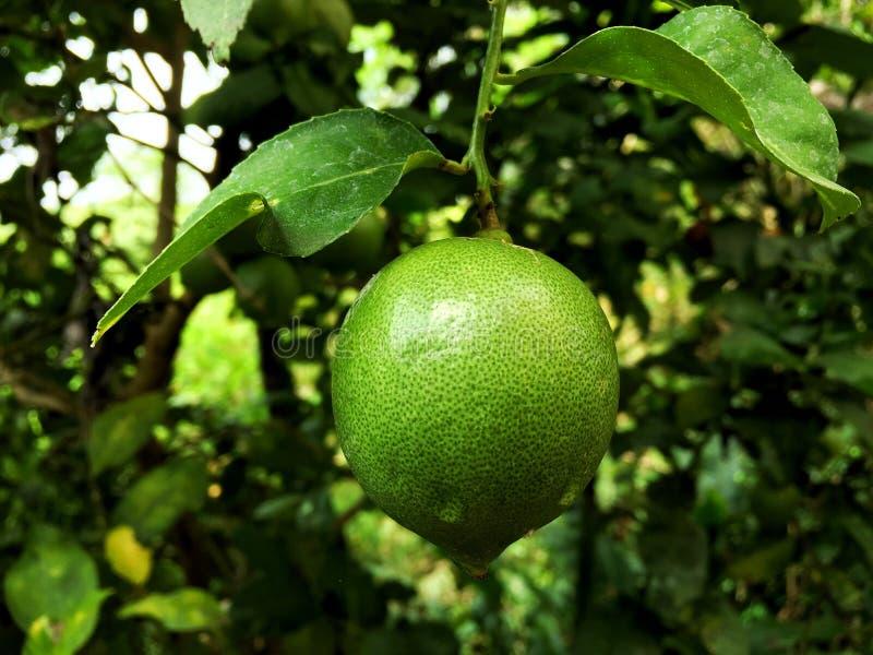 Chaux verte fraîche avec la croissance de baisse de l'eau sur l'arbre dans le jardin images stock