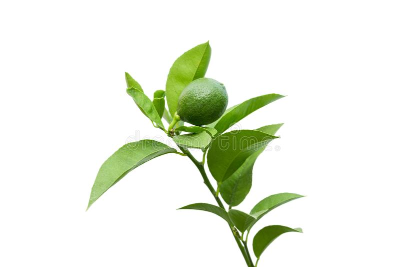 Chaux verte fraîche sur une branche avec des feuilles d'isolement sur un fond blanc image stock