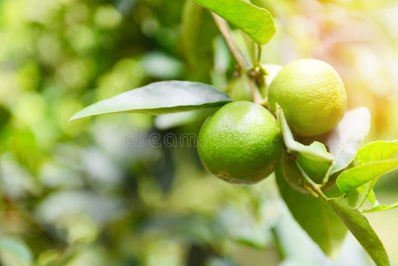 Chaux vertes sur un arbre - vitamine C fraîche d'agrumes de chaux haute dans la ferme de jardin agricole avec le fond de tache fl images stock