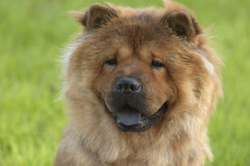 chaw pies zdjęcia stock