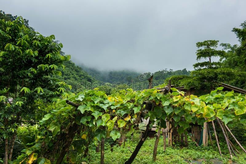 Chayoteanlage in der hohen Landfläche am nebeligen und regnerischen Morgen stockfoto