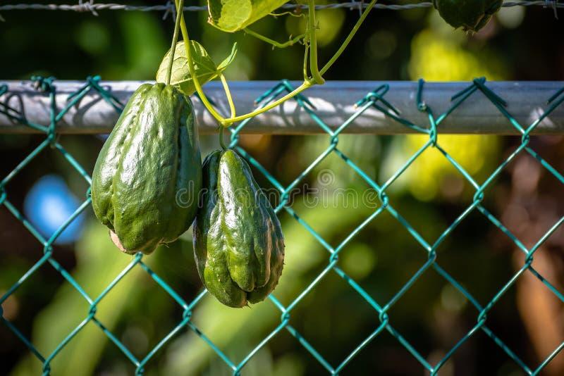 Chayoten Mirliton plattar till päronet formad grönsak fotografering för bildbyråer