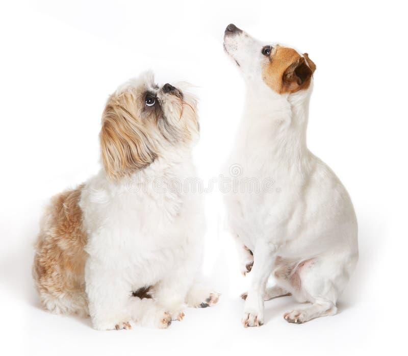 Download Che cosa è in su immagine stock. Immagine di cani, russell - 3144633