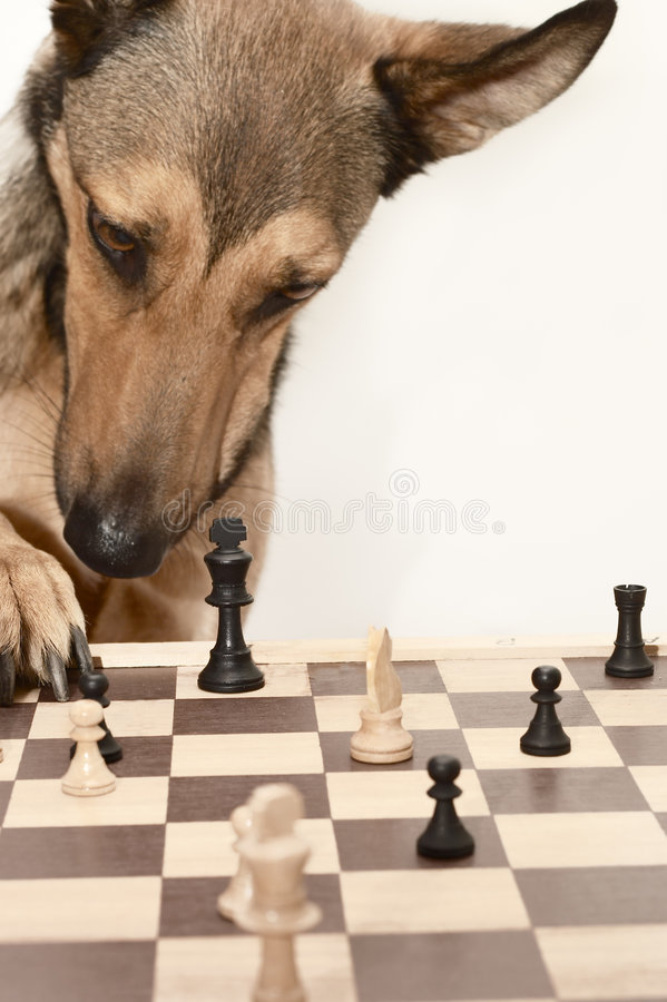 Free Check! Playing Chess Like A Dog Stock Photo - 1255800