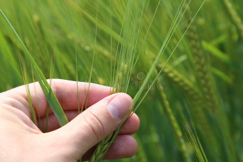 Check your crops. Farmer checking his crops by hand against a beautiful blurred wheat background with lots of copy space stock photo