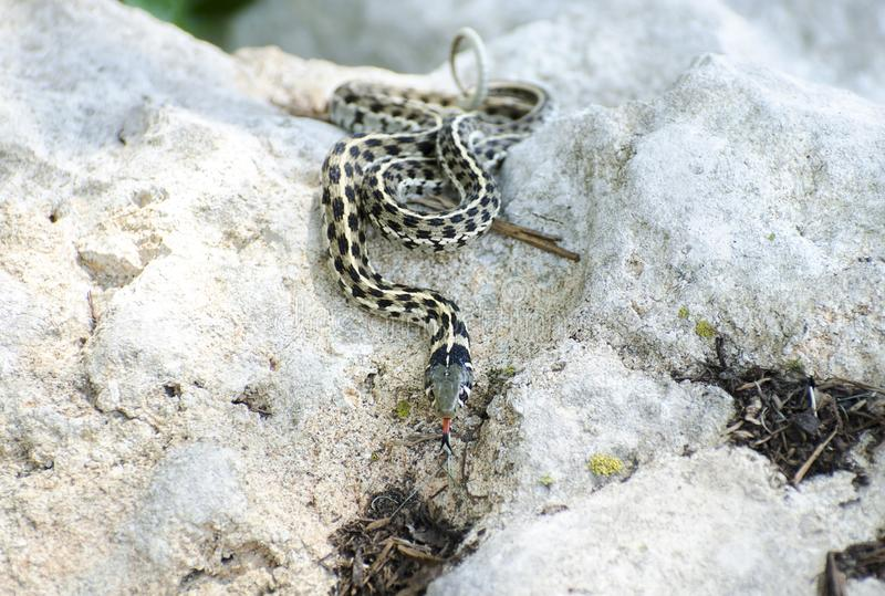 Checkered Garter Snake, Driftwood Texas. The checkered garter snake Thamnophis marcianus slithering on a rock with red forked tongue. A species of garter snake royalty free stock photography