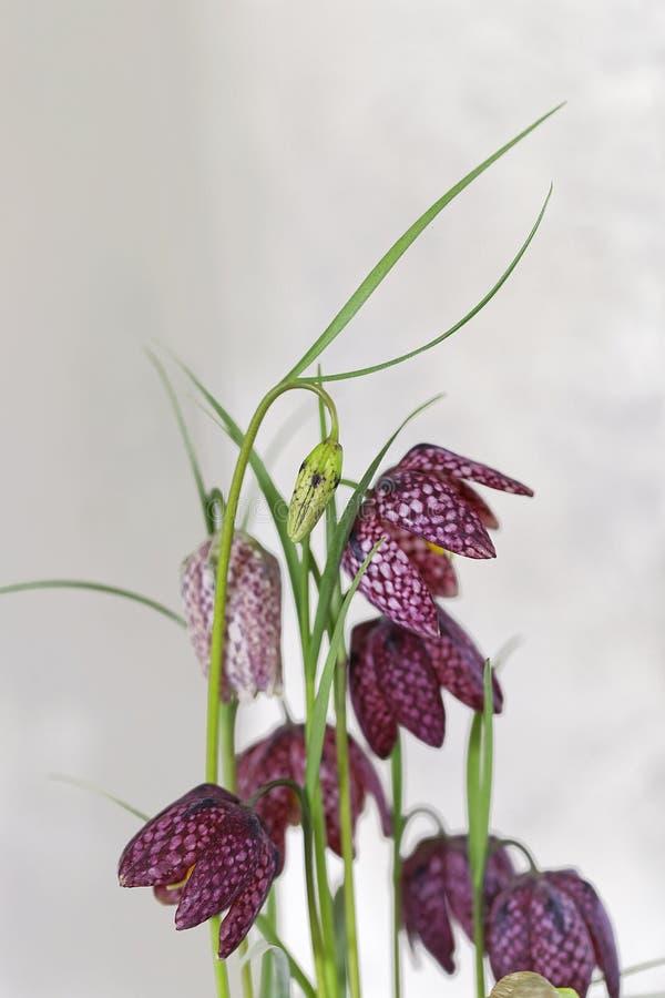 Checkered Lilie stockfotografie