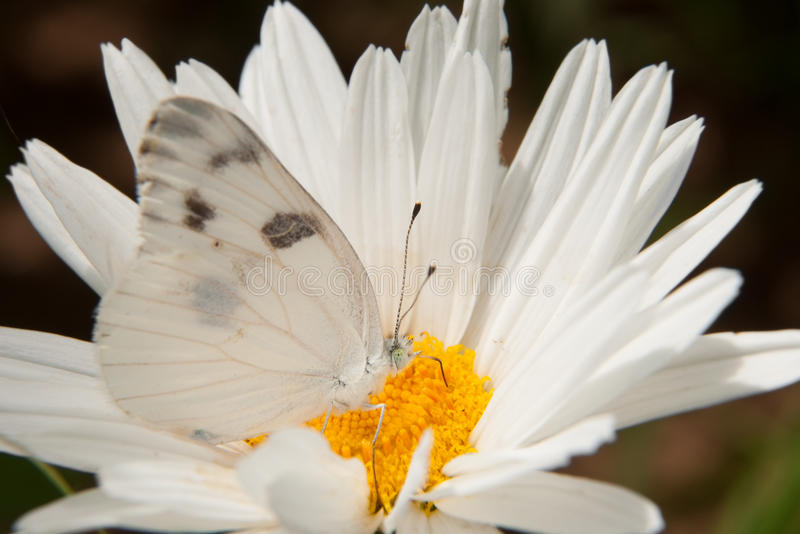 Download Checkered White Butterfly stock photo. Image of migration - 26416390
