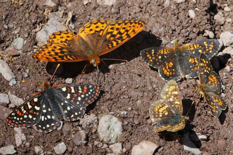 Checkerspot, Fritillary en Gebied Crescent Butterflies stock foto's
