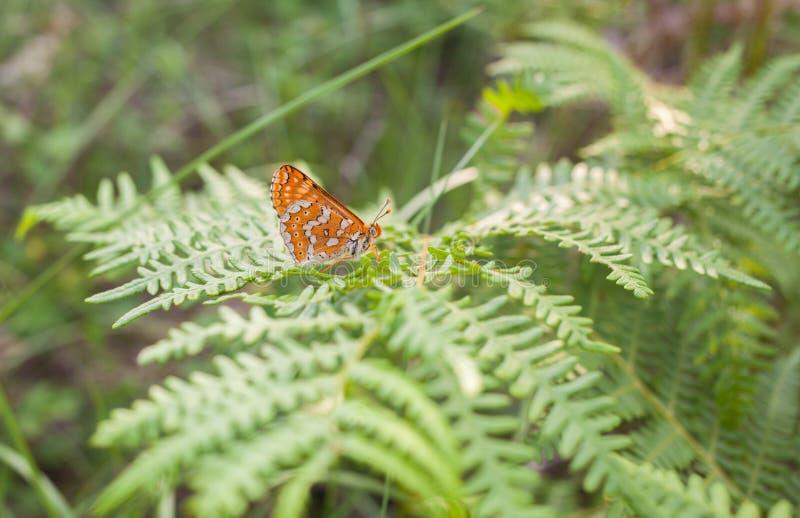 Checkerspot-Schmetterling auf Farnanlage stockfotos