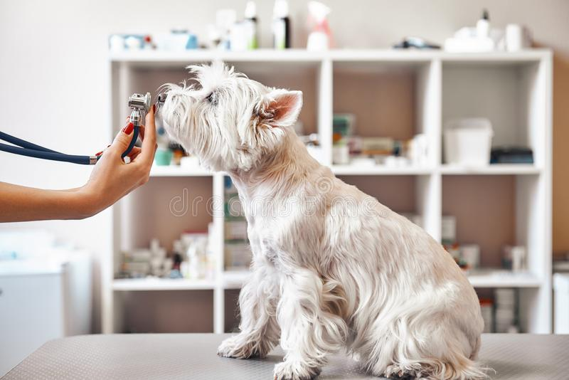 Checking the breath. Female veterinarian hands is holding phonendoscope in front of dog`s nose at veterinary clinic stock photo