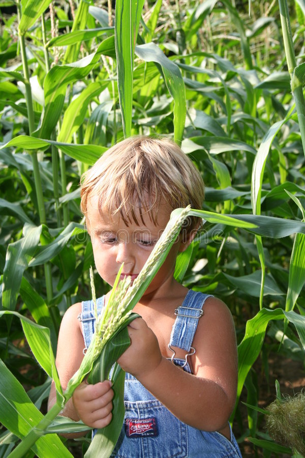 Checking the crops. Young boy in a corn field checking the crops stock photos