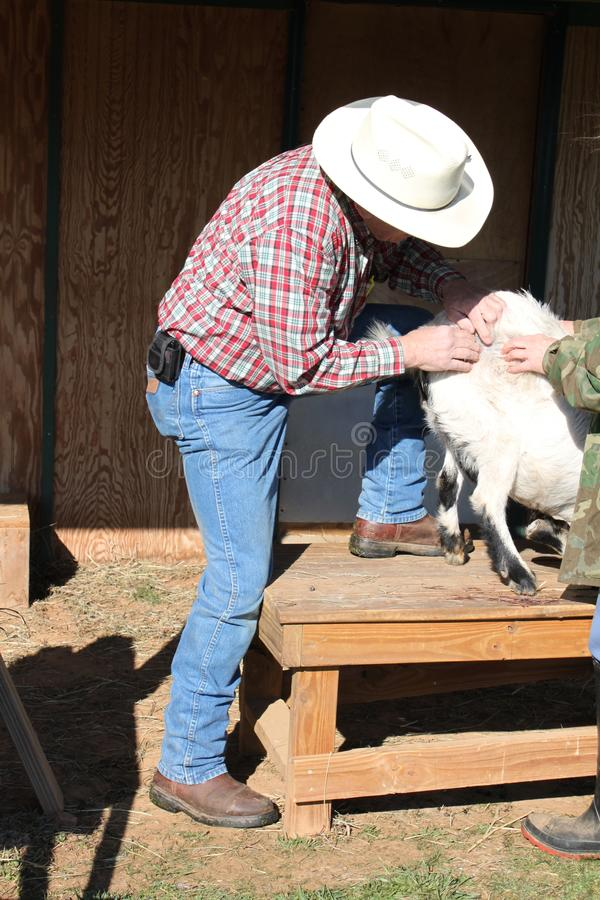 Checking Out the Goats Skin. Large animal vet checking out a skin condition on a goat stock photos