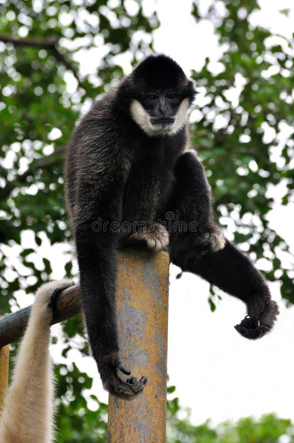 Download Cheeked长臂猿白色 库存照片. 图片 包括有 以为特色, 单独的, 敌意, 工厂, 野生生物, 投反对票 - 22353604