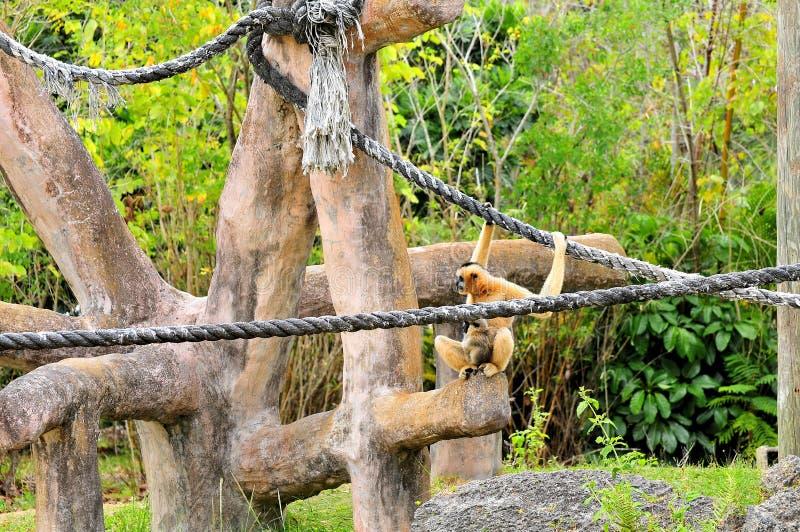 cheeked长臂猿leucogenys nomascus白色 图库摄影