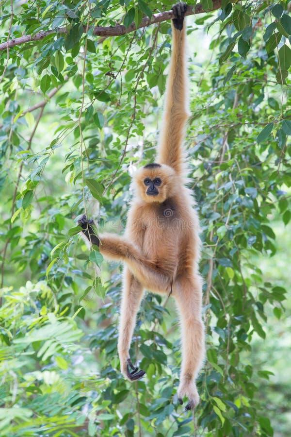 Cheeked branco Gibbon ou Lar Gibbon foto de stock royalty free