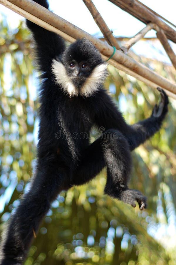 cheeked gibbon white arkivbilder