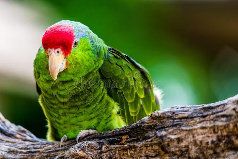 Cheeked verde el Amazonas fotografía de archivo