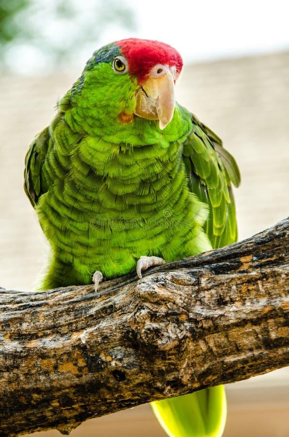 Cheeked verde el Amazonas imagen de archivo libre de regalías