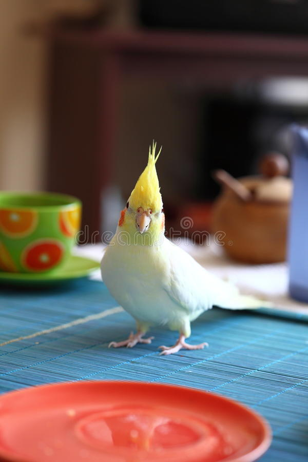 Cheeky Cockatiel parrot stock images