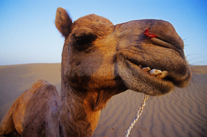 Cheeky Happy Camel in the Desert. A wide angle view of a happy camel in the desert, Rajasthan stock image