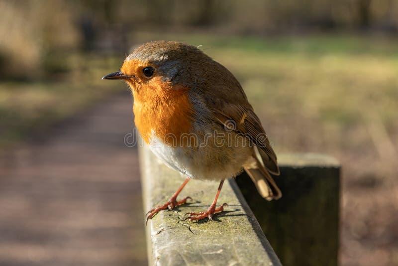 Cheeky Robin Erithacus rubecula fotografia stock