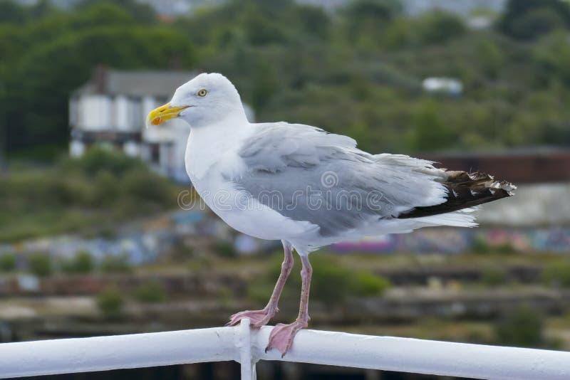 Cheeky Seagull si siede senza paura sulla ringhiera del traghetto, a Newcastle upon Tyne immagini stock libere da diritti