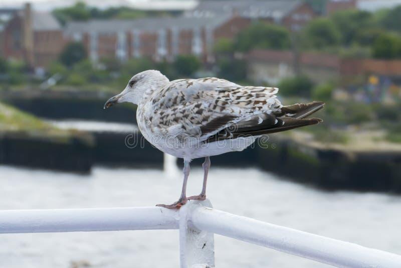 Cheeky Seagull si siede senza paura sulla ringhiera del traghetto, a Newcastle upon Tyne fotografia stock libera da diritti