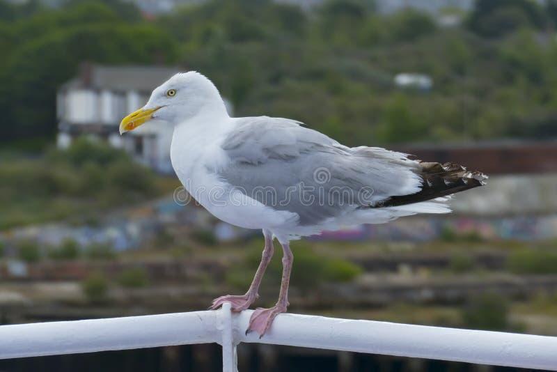Cheeky Seagull si siede senza paura sulla ringhiera del traghetto, a Newcastle upon Tyne fotografie stock