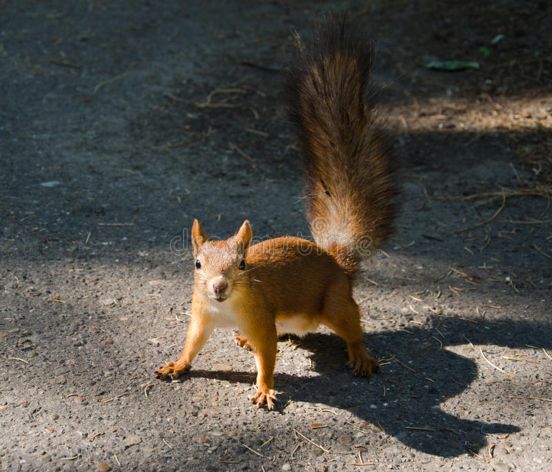 Cheeky squirrel stock photo