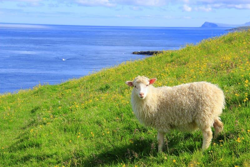 Cheep на Фарерских островах стоковое изображение
