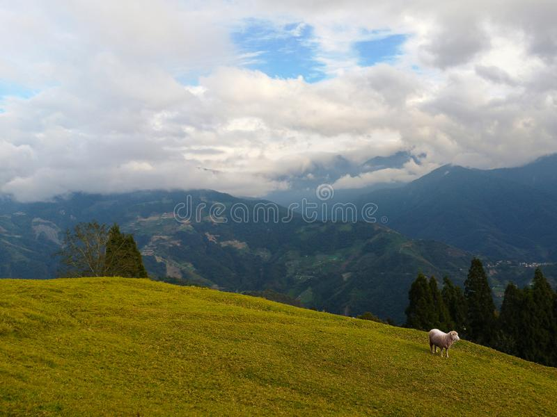 Cheeps enjoy life in the field of countryside Taiwan. Scenery, hill, meadow, green, agriculture, animal, arid, autumn, background, cattle, cingjing, clear royalty free stock photo