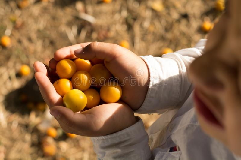 Cheerful boy holding a handful of ripe yellow plums stock images