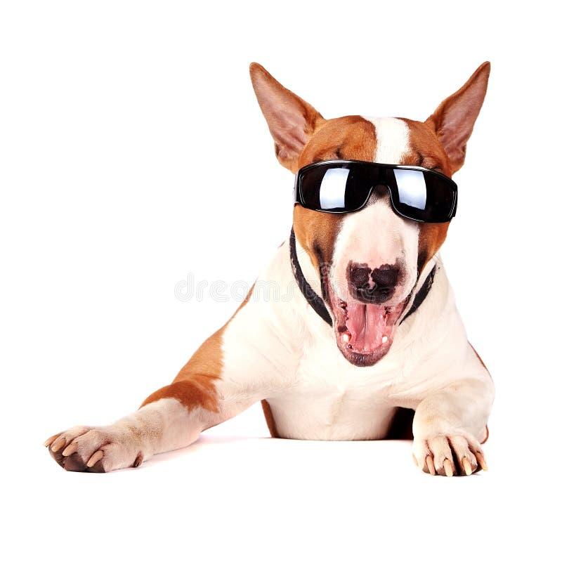 Free Cheerful Bull Terrier In Sunglasses Stock Photo - 27613440
