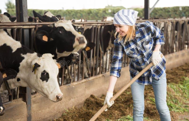 Cheerful cowgirl som arbetar med mjölkbesättningen på cowhouse på gården royaltyfri foto