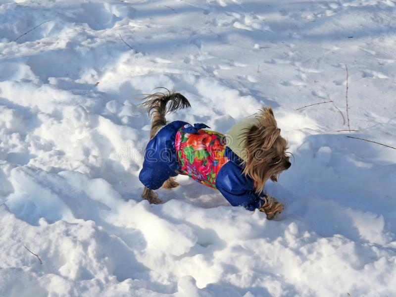 Cheerful decorative dog in clothes running in winter on snow in park stock images